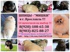 Фото в Собаки и щенки Продажа собак, щенков Шпица чистокровных щеночков для души и выставок в Ярославле 0
