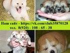 Фотография в Собаки и щенки Продажа собак, щенков Продаются шикарные щенки Акита-ину, от заводчика! в Ярославле 45000