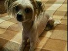 Фото в Собаки и щенки Вязка собак Предлагаем кобеля для вязки, китайская хохлатая, в Ярославле 0
