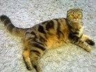 Фото в Кошки и котята Вязка Шотландская вислоухая кошечка, не развязанная, в Ярославле 0