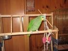 Увидеть фотографию Птички и клетки Продам попугая амазон (мальчик) 43578600 в Ярославле