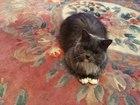 Новое фото Вязка кошек Ищем жениха для молодой кошечки 44532677 в Ярославле
