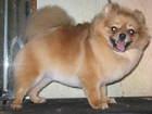 Просмотреть фотографию  стрижка,тримминг собак и кошек, возможен выезд 46442830 в Ярославле