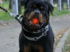Уникальное фотографию Вязка собак Вязка внеплановая, ротвейлер 68343077 в Ярославле