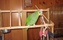 Продам попугая амазон (мальчик)