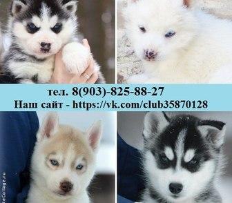 Изображение в Собаки и щенки Продажа собак, щенков ХАСКИ чистокровных красивееееннных щеночков в Ярославле 123