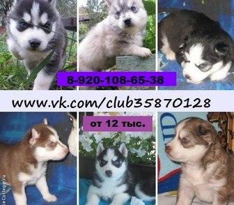 Фото в Собаки и щенки Продажа собак, щенков ХАСКИ щеночков разных окрасов, продам недорого, в Ярославле 12000