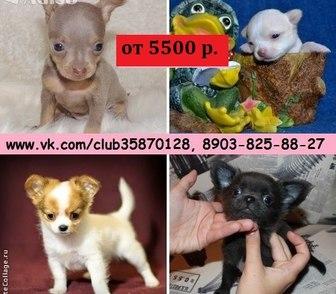 Изображение в Собаки и щенки Продажа собак, щенков Чихуахуа чистокровных щеночков и чистокровных в Ярославле 0