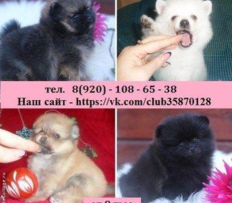 Фото в Собаки и щенки Продажа собак, щенков ШПИЦА чистокровных красивеньких щеночков в Ярославле 0