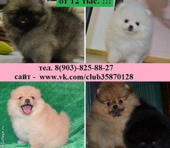 Фотография в Собаки и щенки Продажа собак, щенков Шпица красивеееенных прикрасивееенных чистокровных в Ярославле 12000