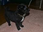 Фото в Собаки и щенки Продажа собак, щенков Отдам в добрые и любящие руки щенка. Девочка, в Москве 0