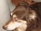 Уникальное изображение Потерянные Пропала собака шоколадного окраса на ул, Спортивная в Клюшках 39993349 в Электростали