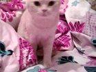 Фото в Образование Репетиторы котик британский в Энгельсе 0