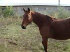 Новое foto Другие животные продам лошадь 37825193 в Энгельсе