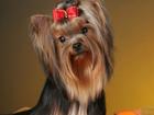 Фото в Собаки и щенки Продажа собак, щенков Красивые высокопородные декоративные щенки в Югорске 25000