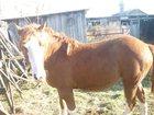 Фото в Домашние животные Другие животные кобыла полу тяж 4 года справная жеребая в Калачинске 80000