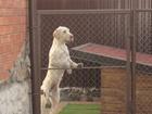 Изображение в Потерянные и Найденные Потерянные Пропала собака 12. 01. 2017 г. породы Драдхаар в Калининграде 0