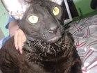 Фото в Кошки и котята Вязка Очаровательный кудрявый корниш-рекс ищет в Калининграде 500