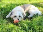 Смотреть foto Вязка собак Ищем невесту для ши тцу 39374796 в Калининграде