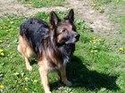 Уникальное фотографию Вязка собак Ищем сучку для вязки немецкой овчарки(зонарный лохмач) 66352668 в Калининграде