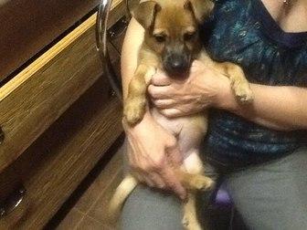Увидеть фотографию Отдам даром - приму в дар отдам в хорошую семью щенка 3 мес, помесь ягтерьера 39757608 в Калининграде