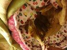 Просмотреть фото  Абиссинские котята 32367018 в Калуге