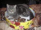 Фотография в Кошки и котята Вязка Котик 3 года. Шотландец-прямоушка (Skottish в Калуге 1000