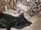 Фотография в Кошки и котята Продажа кошек и котят Котята родились 28 марта, окрас Шоколад-пойнт в Калуге 4000