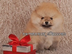 Фотография в Собаки и щенки Продажа собак, щенков Продаю шикарных щенков померанского шпица, в Калуге 0
