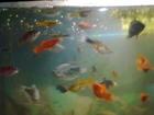Фотография в Рыбки (Аквариумистика) Аквариумные рыбки Продам аквариумных рыбок, (можно и оптом): в Калуге 80