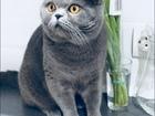 Уникальное изображение Вязка кошек Вязка с шотландским котом, 59044595 в Калуге