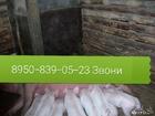 Новое фото Другие животные Продаются поросята ландрасы  37358941 в Камбарке
