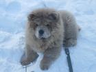 Скачать foto Вязка собак ищем невесту чау-чау В Каменске-Уральском 66602362 в Каменск-Уральске