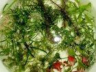 Изображение в Рыбки (Аквариумистика) Растения Людвигия, мексиканский дубок, перистолистник в Казани 200