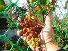 Уникальное фотографию Растения Черенки винограда зимостойких сортов 37623914 в Казани