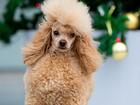 Фотография в Собаки и щенки Вязка собак Предлагается красивый той пудель (26, 5 см) в Казани 100