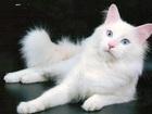 Фото в Кошки и котята Вязка ищем ангорочке голубоглазого блондина) Срочно! в Казани 0