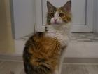 Увидеть изображение Вязка кошек Ищу кота для крупной кошки, на территории кошки, 40586666 в Казани