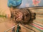 Скачать foto Вязка кошек Ищем девочку для нашего кота 51345984 в Казани