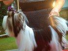 Изображение в Собаки и щенки Вязка собак Породный кобель. 2 года. Вес 2, 1 в Кемерово 15000