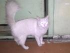Смотреть фотографию Отдам даром отдам в добрые руки или верну хозяину кошечку турецкая ангора 34886260 в Кемерово