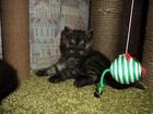 Фото в Кошки и котята Продажа кошек и котят Продам британских котят, родились 1. 11. в Кемерово 3000