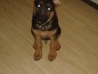Скачать бесплатно фотографию Вязка собак кобель немецкой овчарки 38379609 в Кемерово