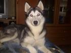 Новое изображение  В добрые руки собаку Хаски, 38429912 в Кемерово