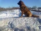 Изображение в Собаки и щенки Вязка собак Срочно ищу кобеля для вязки суки Кавказской в Кемерово 0