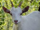 Новое foto Другие животные Продажа отличных коз с хорошим надоем 66418549 в Кемерово