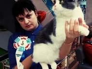Скоттиш-фолд чемпион Правильной вислоухости и по фенотипу кот Изюм.   окрас - го