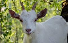 Продажа отличных коз с хорошим надоем