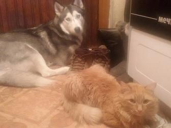 Уникальное фото  В добрые руки собаку Хаски, 38429912 в Кемерово