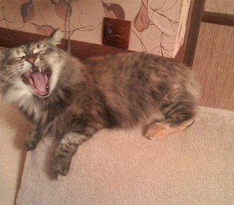 Изображение в Отдам даром - Приму в дар Отдам даром Шикарная кошка Маша - только для не менее в Кемерово 0